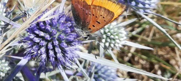 farfalle montagna dei fiori- foto di Pierangela Vallese